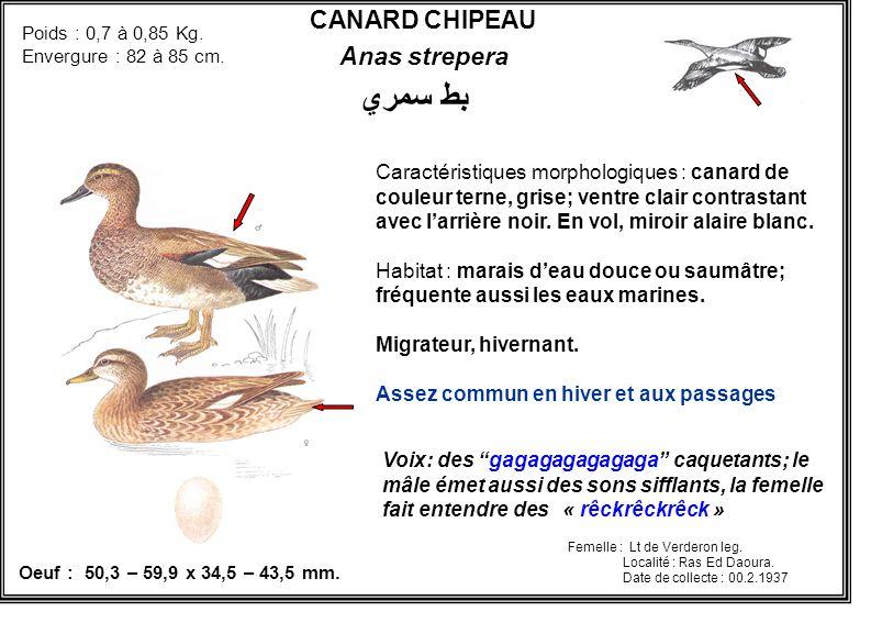 بط سمري CANARD CHIPEAU Anas strepera