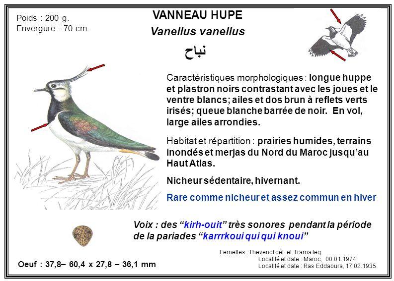 نباح VANNEAU HUPE Vanellus vanellus