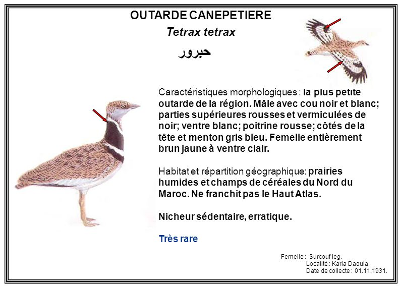 حبرور OUTARDE CANEPETIERE Tetrax tetrax