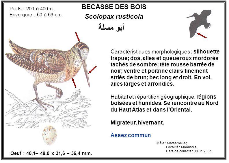 أبو مسلة BECASSE DES BOIS Scolopax rusticola