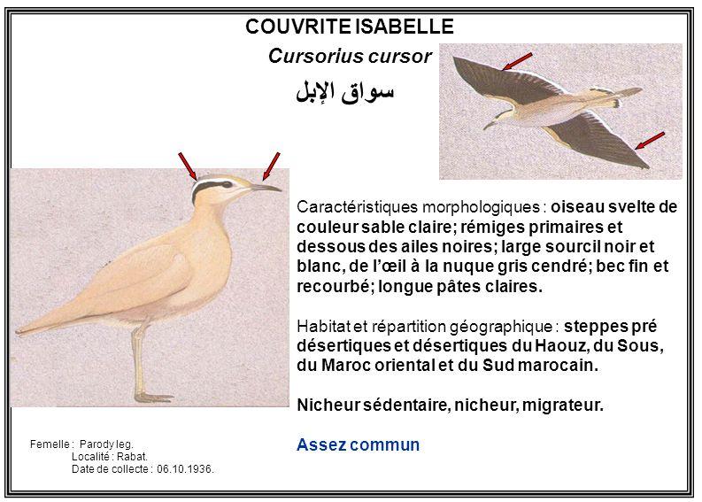 سواق الإبل COUVRITE ISABELLE Cursorius cursor