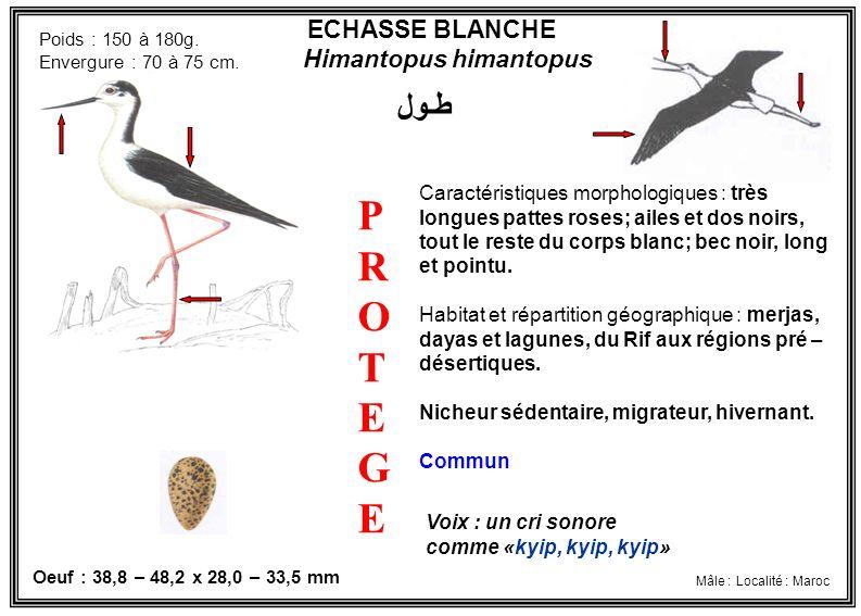 ECHASSE BLANCHE Himantopus himantopus