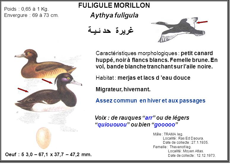 غريرة حد ئـيـة FULIGULE MORILLON Aythya fuligula