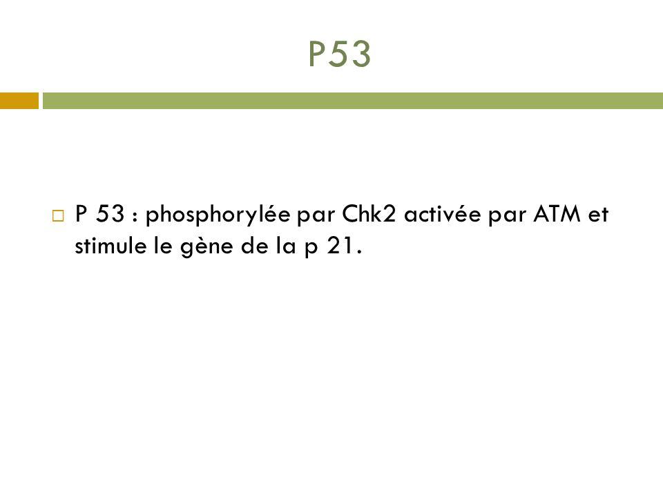 P53 P 53 : phosphorylée par Chk2 activée par ATM et stimule le gène de la p 21.