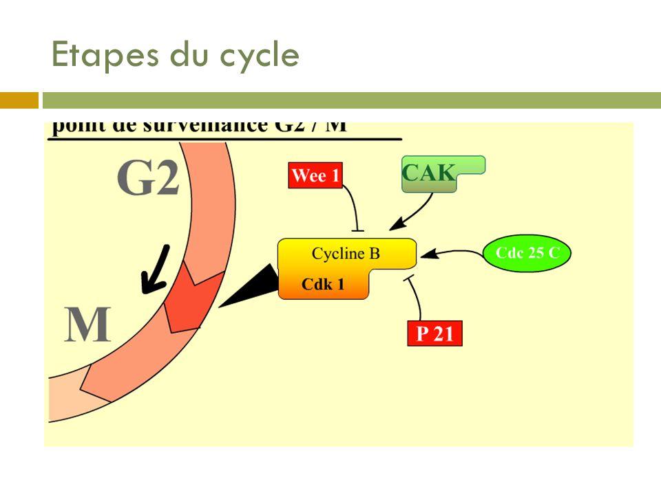 Etapes du cycle