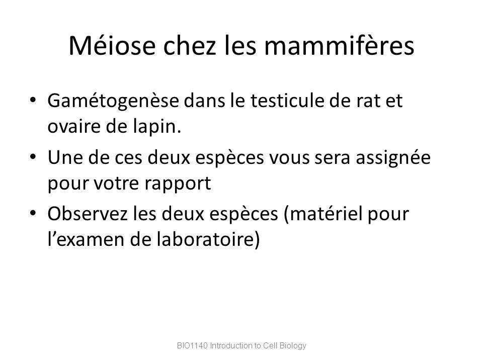Méiose chez les mammifères