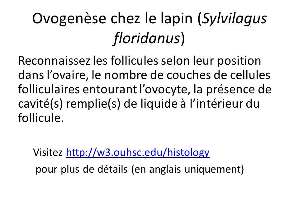 Ovogenèse chez le lapin (Sylvilagus floridanus)