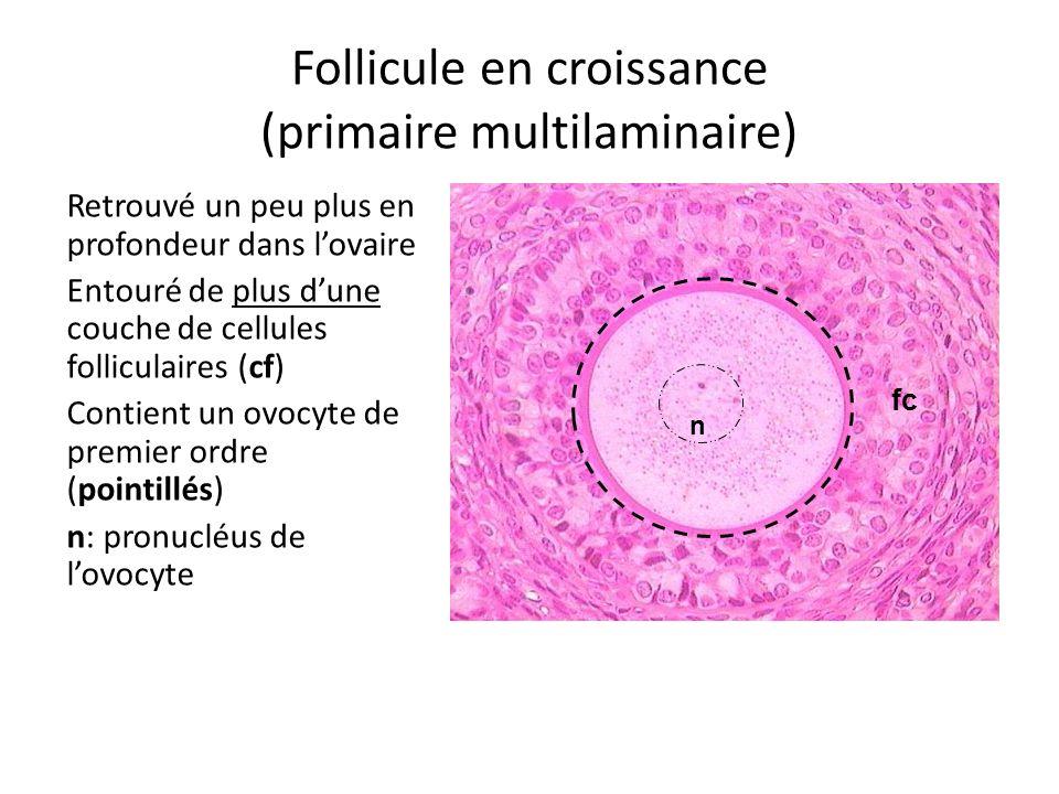 Follicule en croissance (primaire multilaminaire)