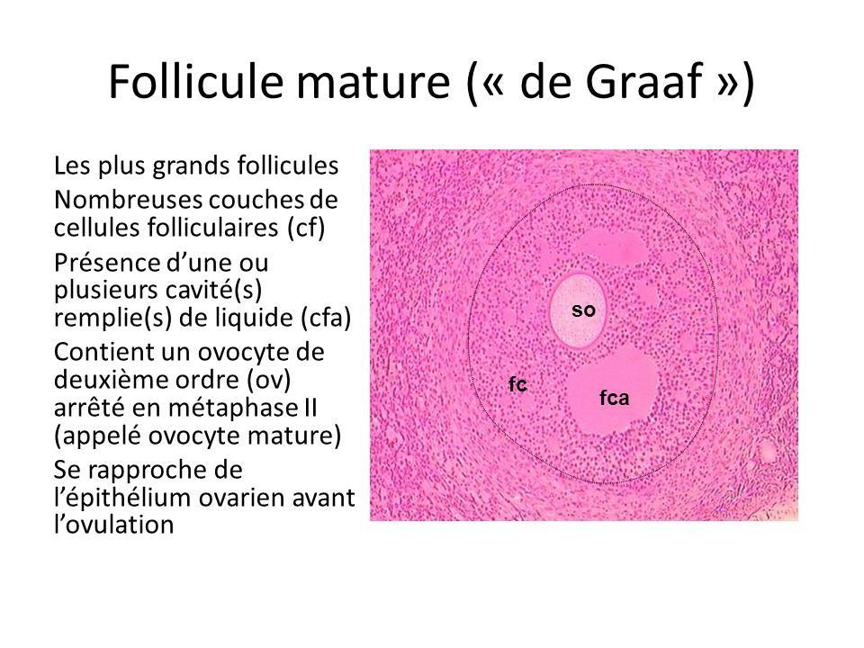 Follicule mature (« de Graaf »)
