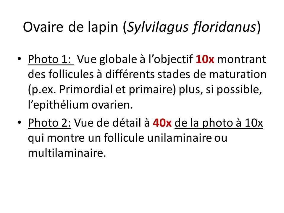 Ovaire de lapin (Sylvilagus floridanus)