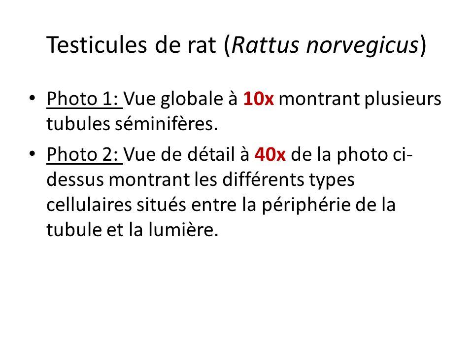 Testicules de rat (Rattus norvegicus)
