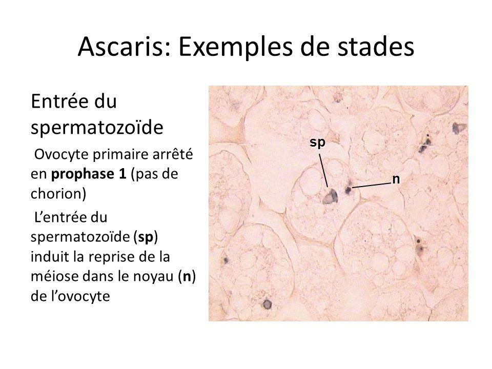 Ascaris: Exemples de stades