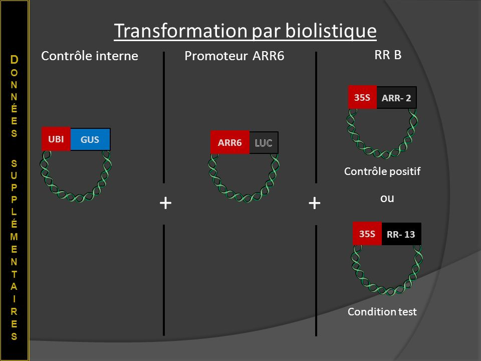 Transformation par biolistique
