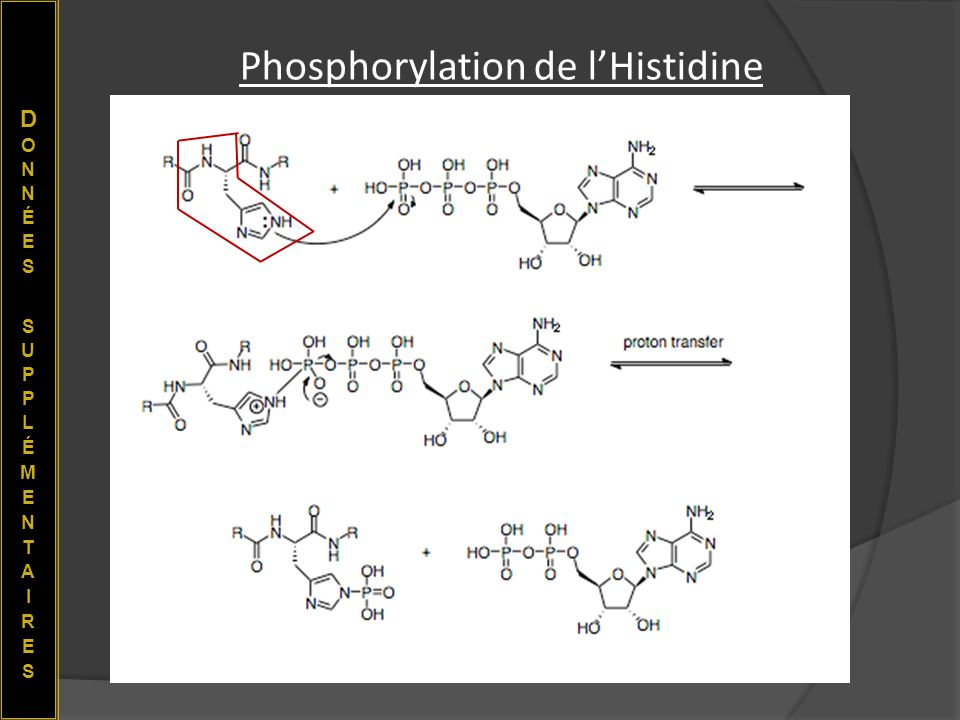 Phosphorylation de l'Histidine