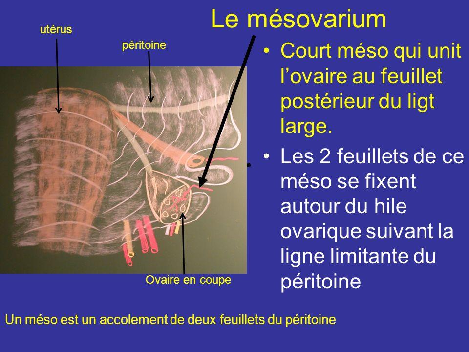 Le mésovarium utérus. péritoine. Court méso qui unit l'ovaire au feuillet postérieur du ligt large.