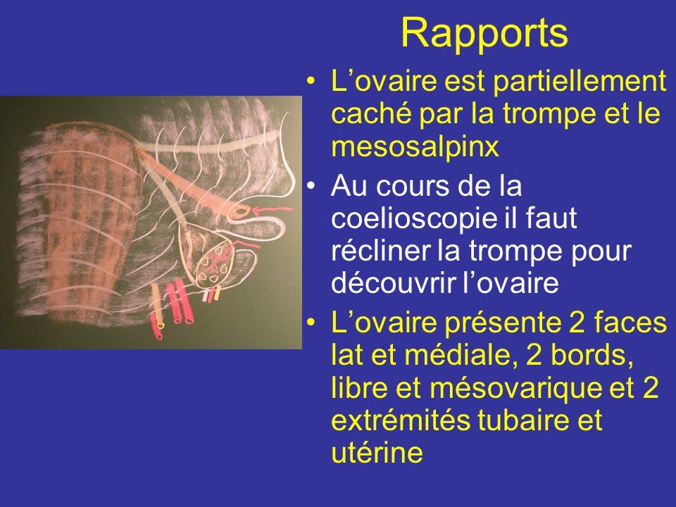 Rapports L'ovaire est partiellement caché par la trompe et le mesosalpinx.