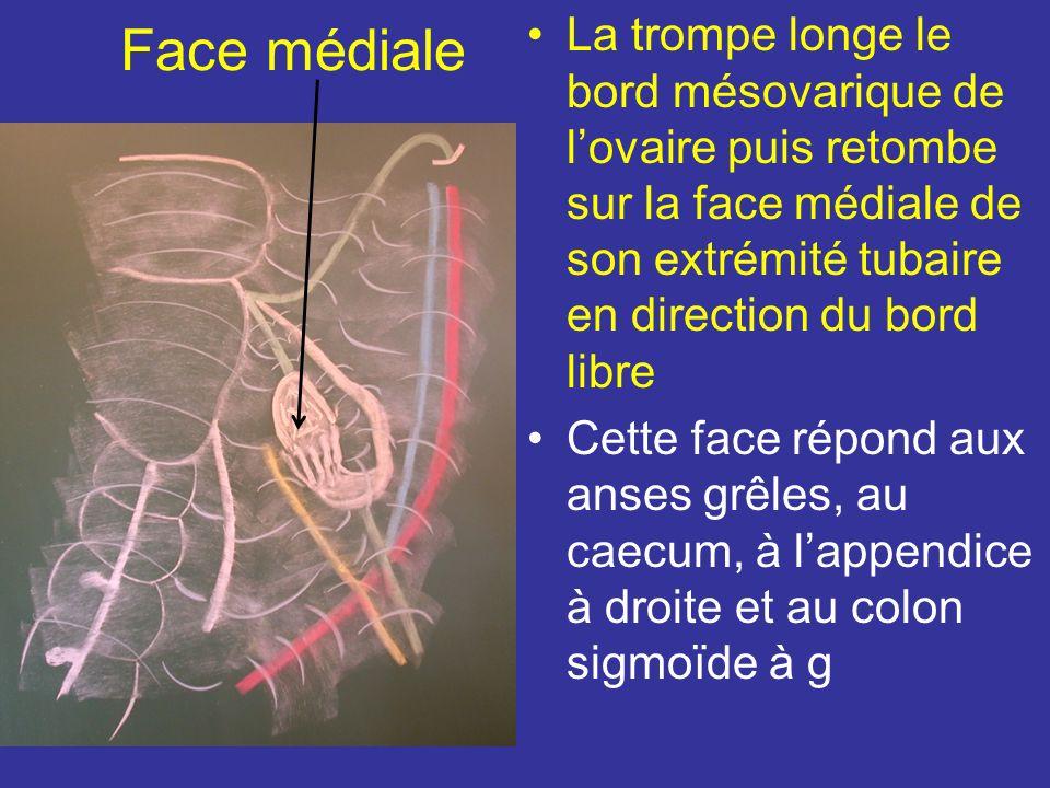 Face médiale La trompe longe le bord mésovarique de l'ovaire puis retombe sur la face médiale de son extrémité tubaire en direction du bord libre.
