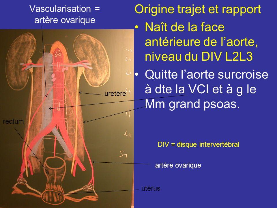 Vascularisation = artère ovarique