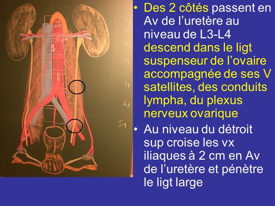 Des 2 côtés passent en Av de l'uretère au niveau de L3-L4 descend dans le ligt suspenseur de l'ovaire accompagnée de ses V satellites, des conduits lympha, du plexus nerveux ovarique
