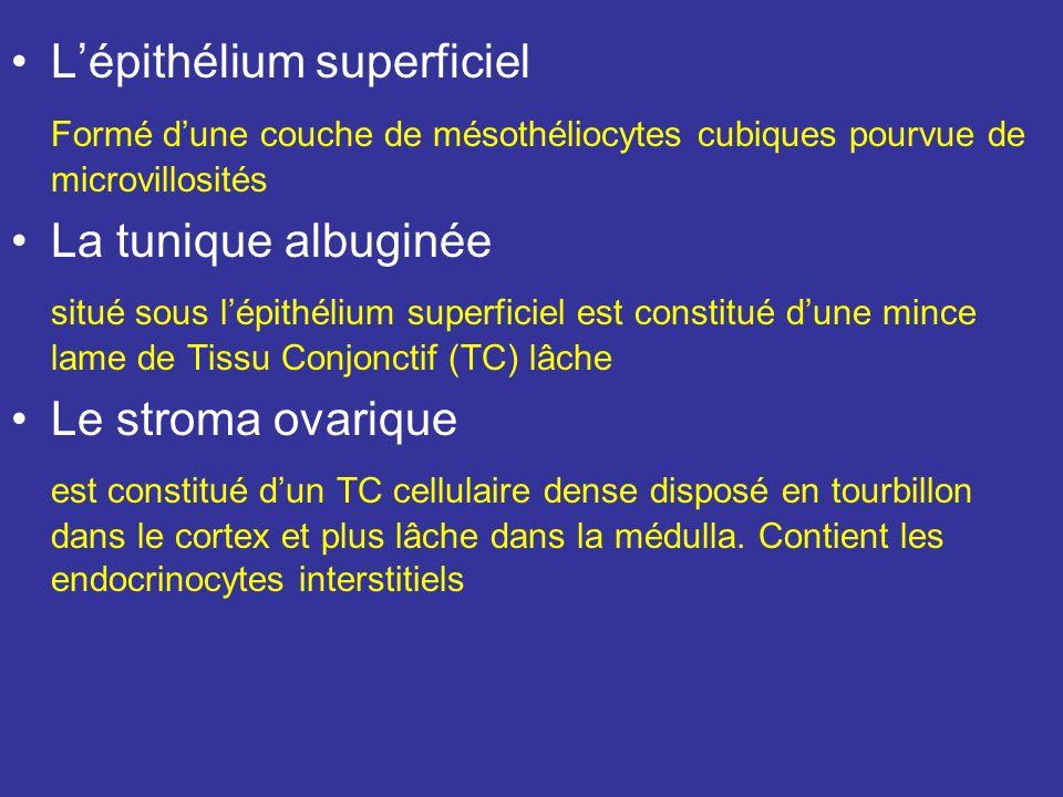 L'épithélium superficiel