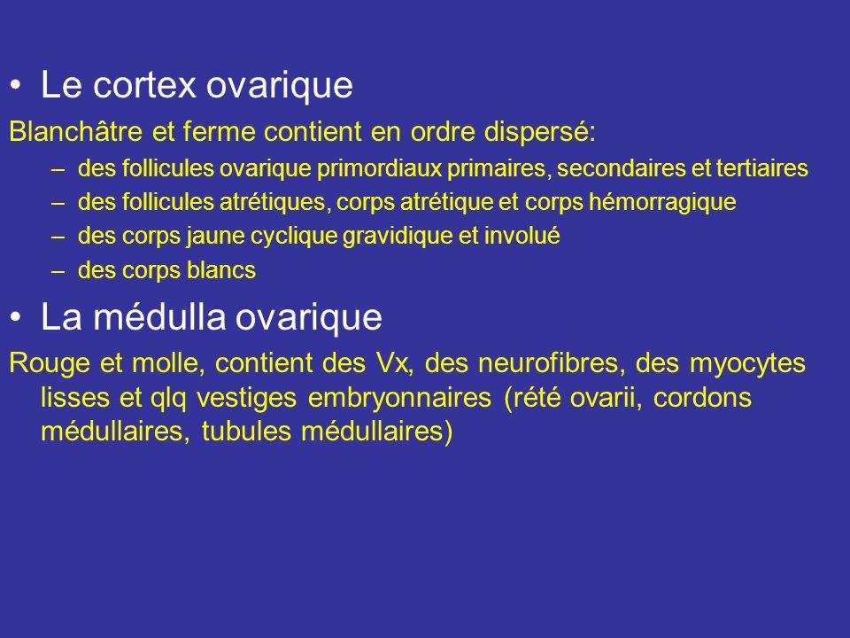 Le cortex ovarique La médulla ovarique