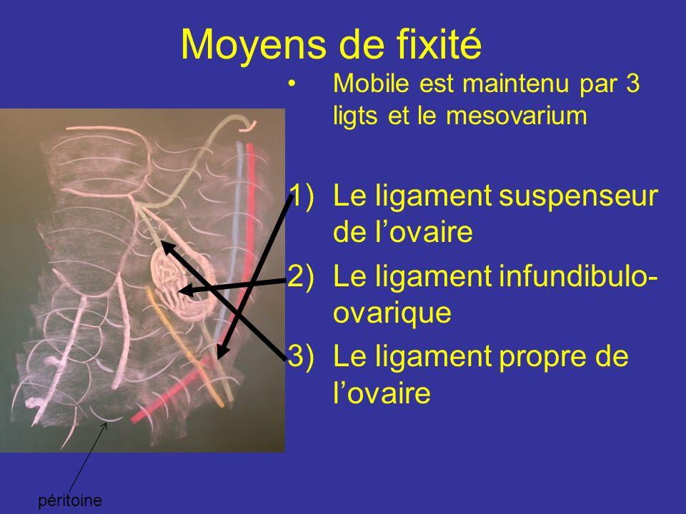 Moyens de fixité Le ligament suspenseur de l'ovaire