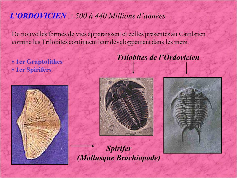(Mollusque Brachiopode)