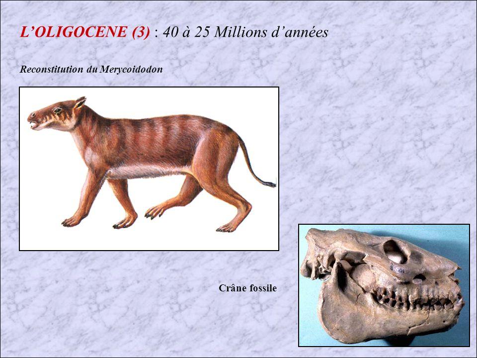 L'OLIGOCENE (3) : 40 à 25 Millions d'années