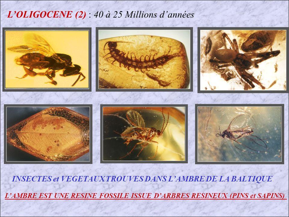 L'OLIGOCENE (2) : 40 à 25 Millions d'années