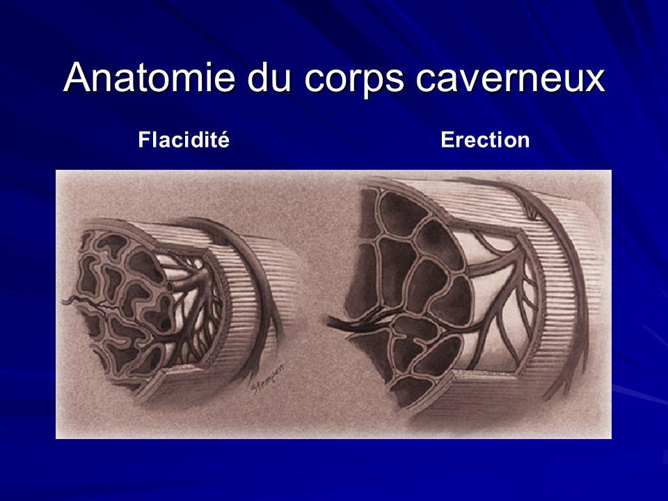 Anatomie du corps caverneux