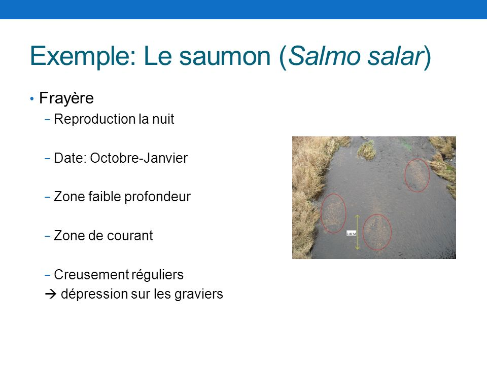 Exemple: Le saumon (Salmo salar)