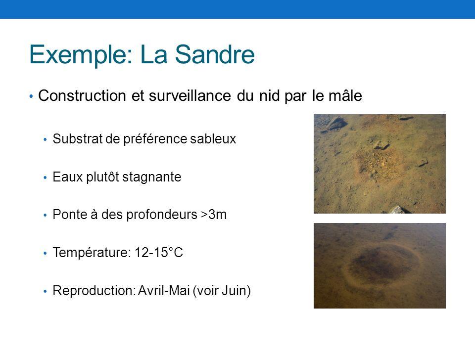 Exemple: La Sandre Construction et surveillance du nid par le mâle
