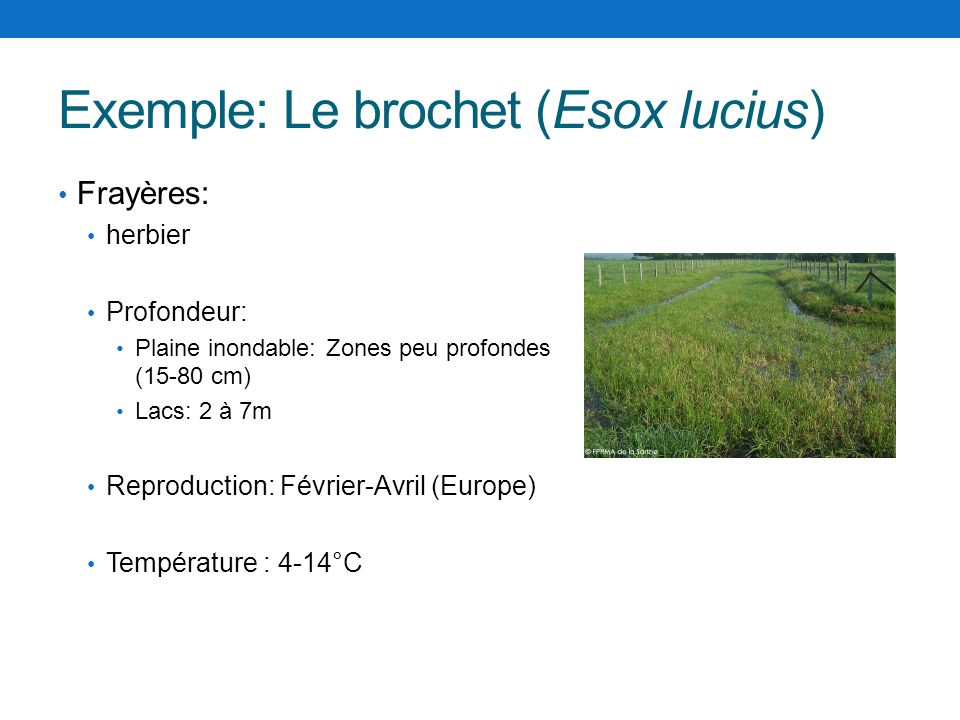 Exemple: Le brochet (Esox lucius)