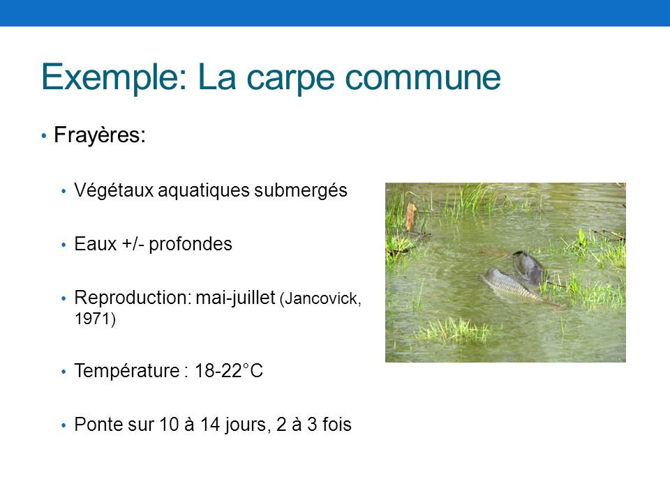 Exemple: La carpe commune