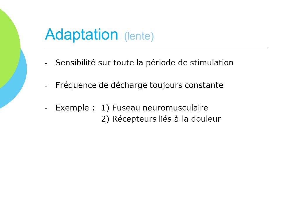 Adaptation (lente) Sensibilité sur toute la période de stimulation