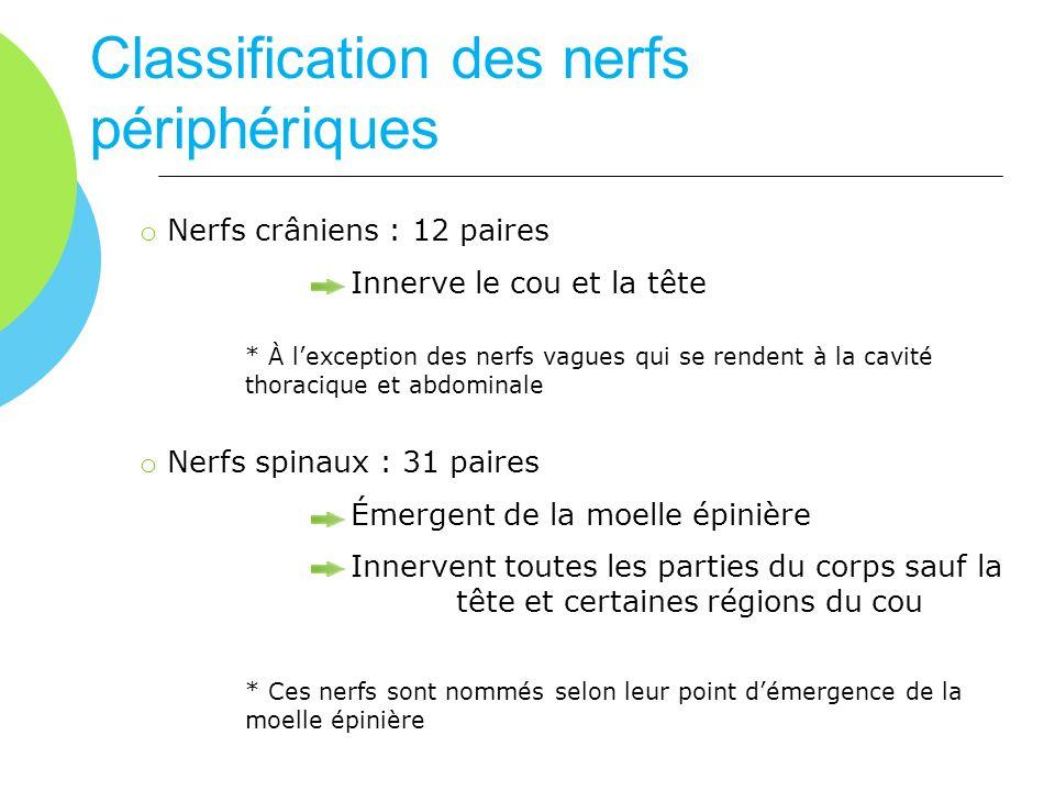 Classification des nerfs périphériques