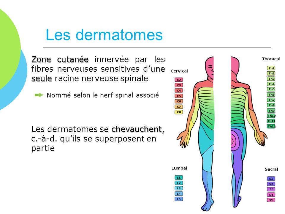 Les dermatomes Zone cutanée innervée par les fibres nerveuses sensitives d'une seule racine nerveuse spinale.