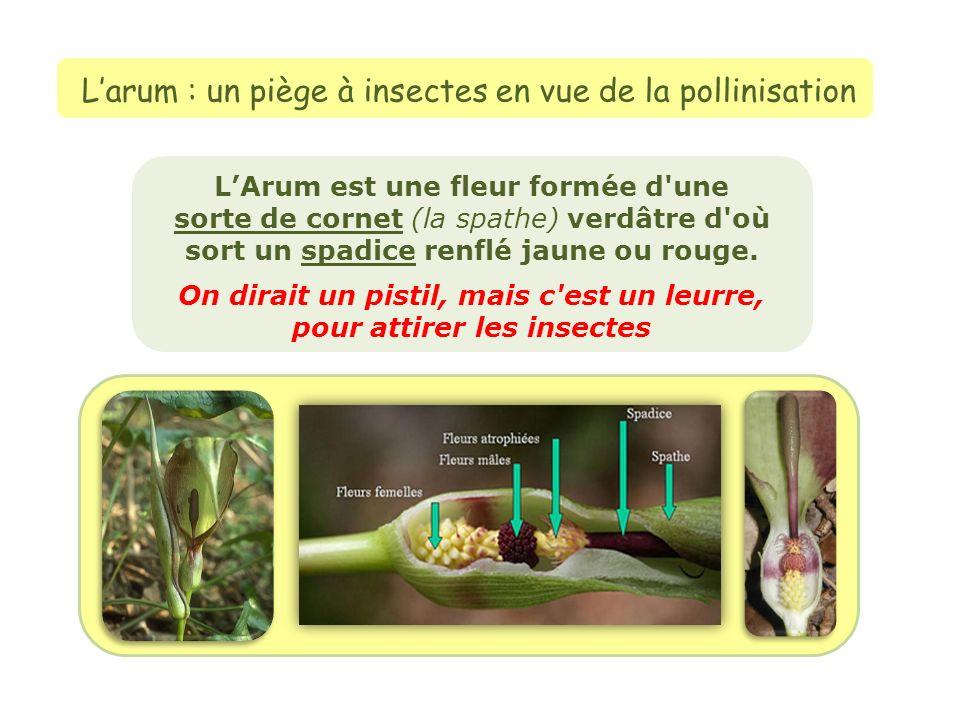L'arum : un piège à insectes en vue de la pollinisation