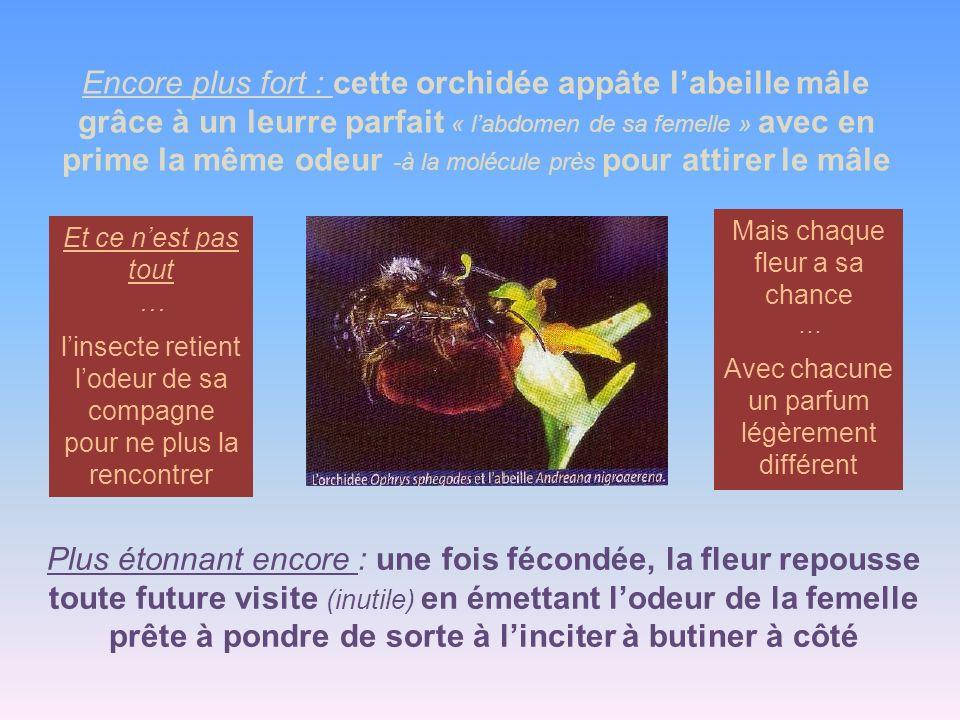 Encore plus fort : cette orchidée appâte l'abeille mâle grâce à un leurre parfait « l'abdomen de sa femelle » avec en prime la même odeur -à la molécule près pour attirer le mâle