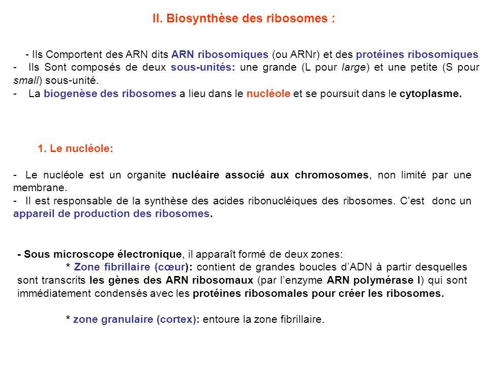 II. Biosynthèse des ribosomes :