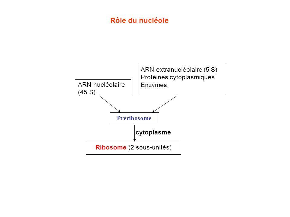Ribosome (2 sous-unités)