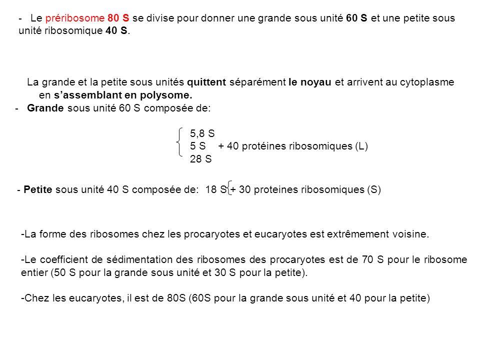 Le préribosome 80 S se divise pour donner une grande sous unité 60 S et une petite sous unité ribosomique 40 S.