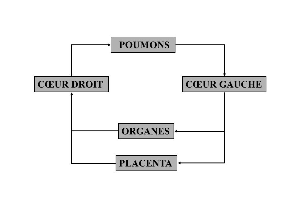 POUMONS CŒUR DROIT CŒUR GAUCHE ORGANES PLACENTA
