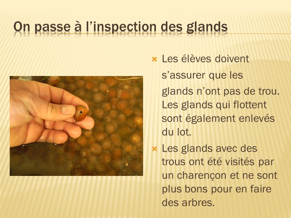 On passe à l'inspection des glands