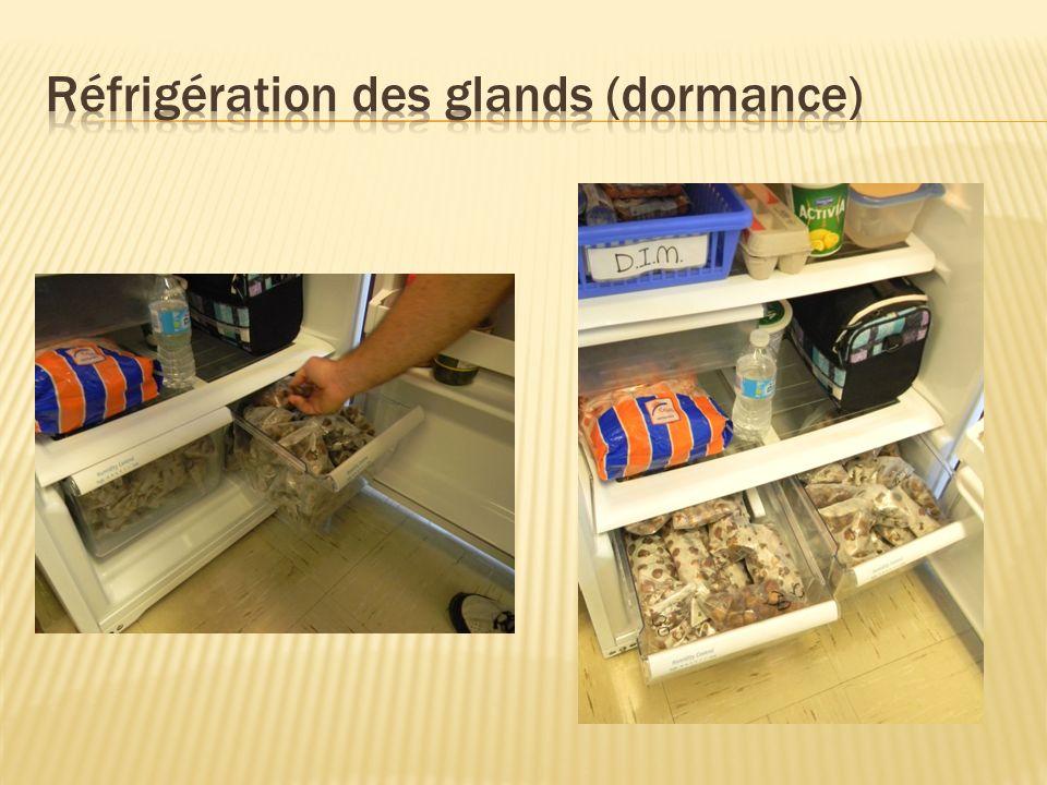 Réfrigération des glands (dormance)
