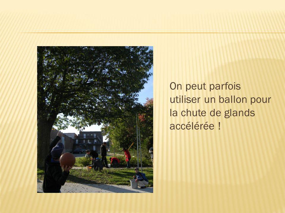 On peut parfois utiliser un ballon pour la chute de glands accélérée !
