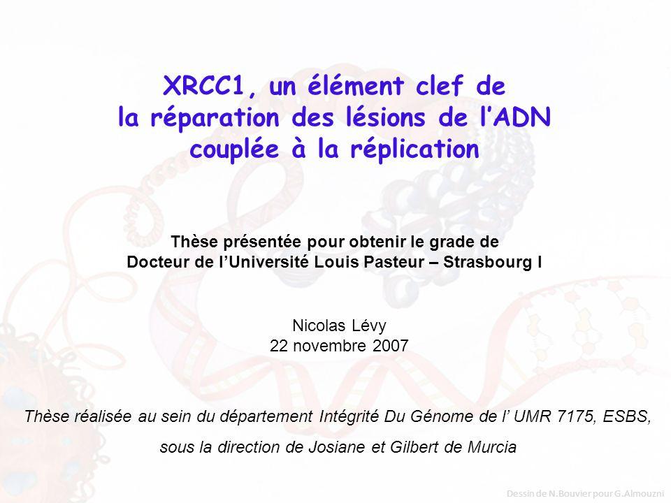 XRCC1, un élément clef de la réparation des lésions de l'ADN couplée à la réplication