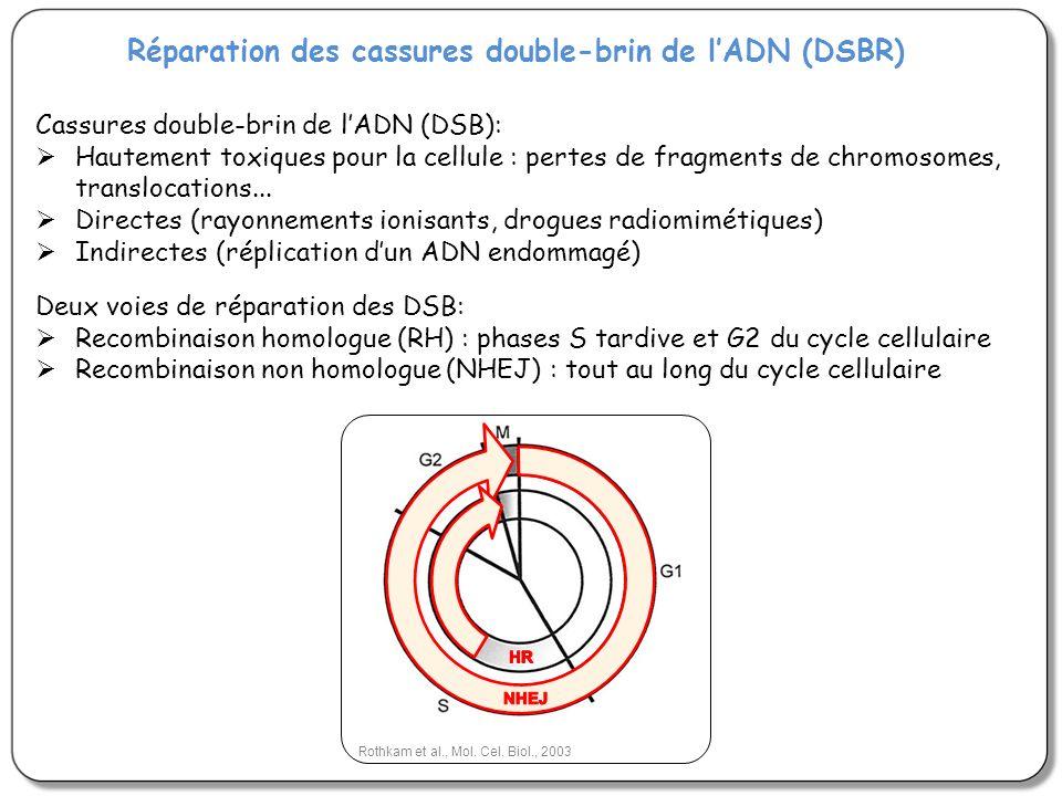 Réparation des cassures double-brin de l'ADN (DSBR)