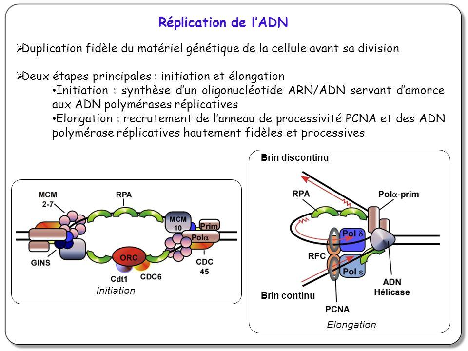 Réplication de l'ADN Duplication fidèle du matériel génétique de la cellule avant sa division. Deux étapes principales : initiation et élongation.