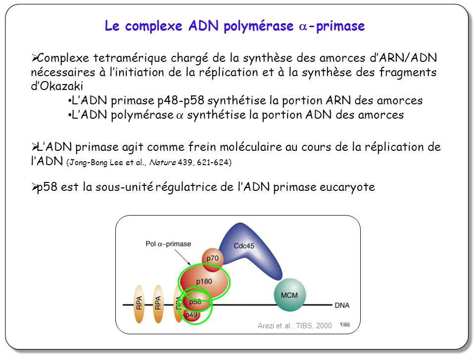 Le complexe ADN polymérase a-primase
